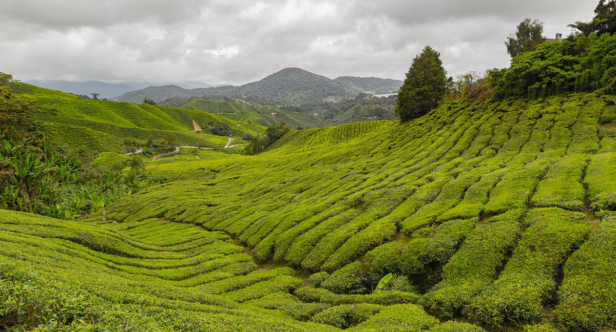 Boh Tea Plantation, The Cameron Highlands