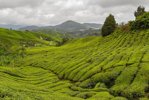 Trekking and Tea in the Cameron Highlands