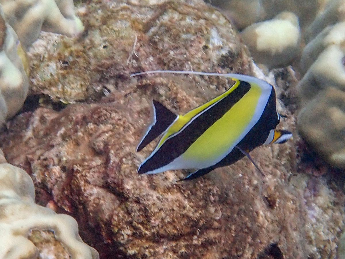 Moorish Idol at Koh Haa