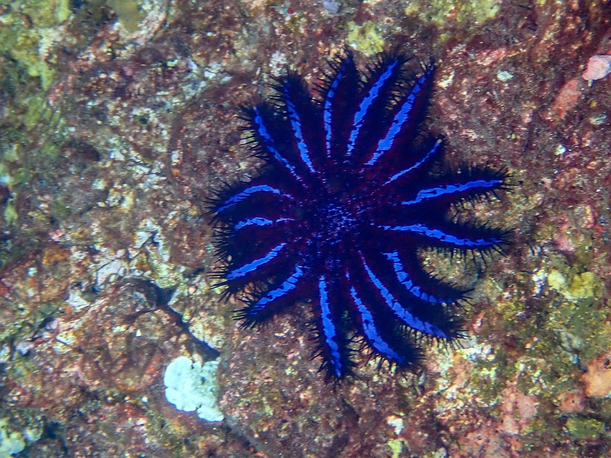 Crown of thorns Starfish at Koh Haa