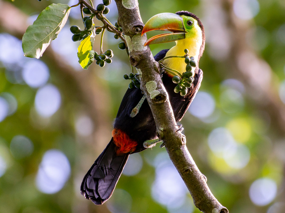 Keel-billed Toucan, in the grounds of Tortuga Lodge & Gardens
