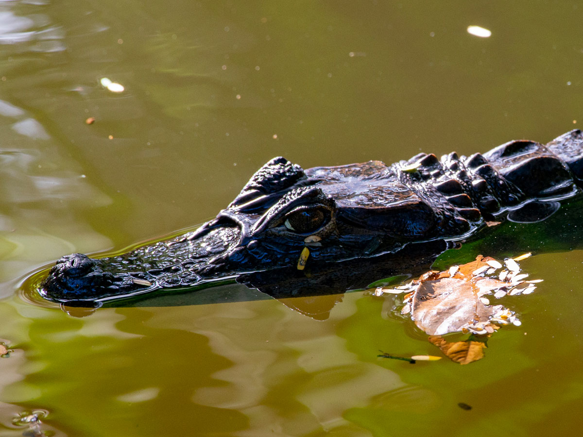 Spectacled Caiman, Tortuguero National Park