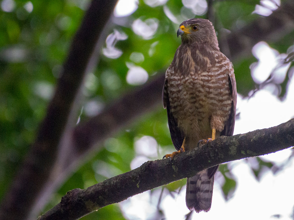 Roadside Hawk, in the grounds of Tortuga Lodge & Gardens