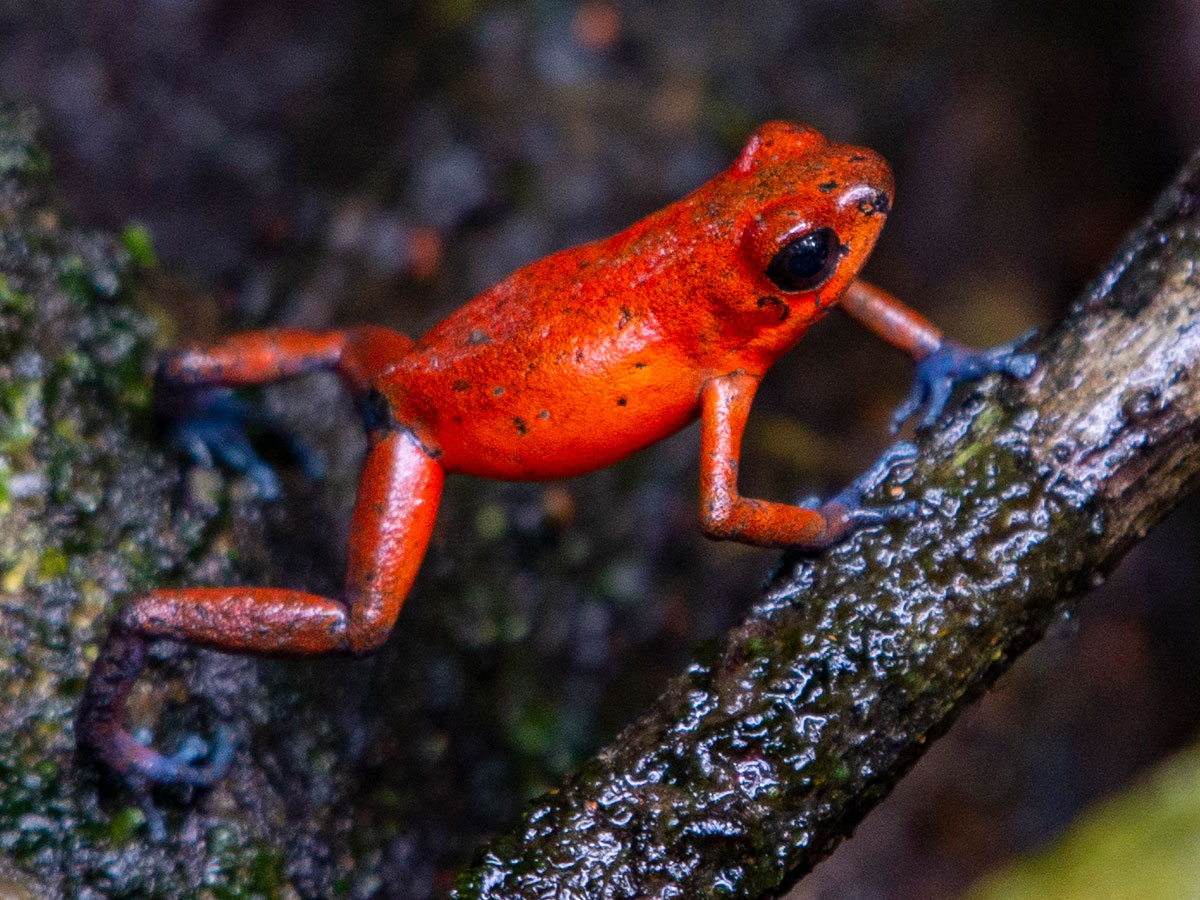 A Strawberry Poison Dart Frog in the grounds of Tortuga Lodge & Gardens