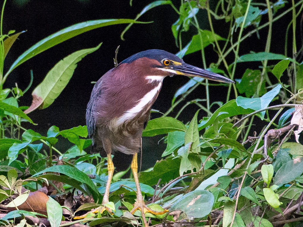Green Heron, Tortuguero National Park