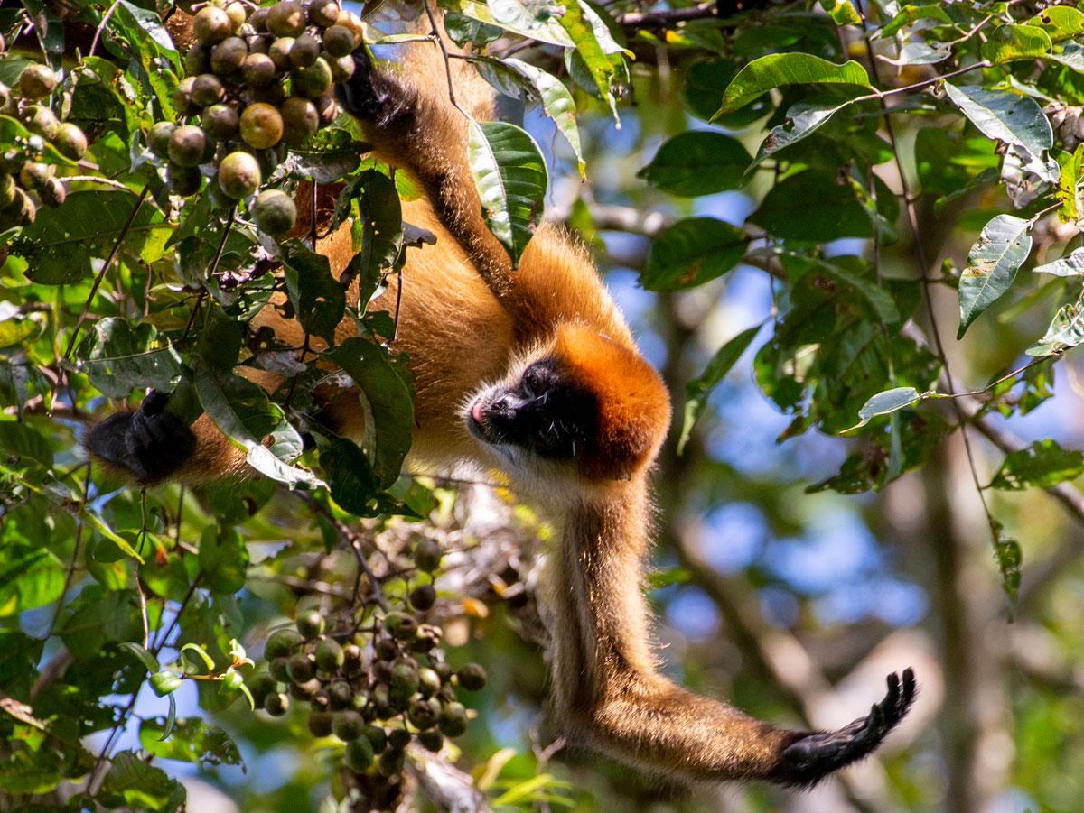 Spider Monkey, Tortuguero National Park