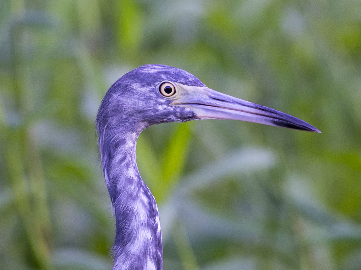 Little Blue Heron, Tortuguero National Park