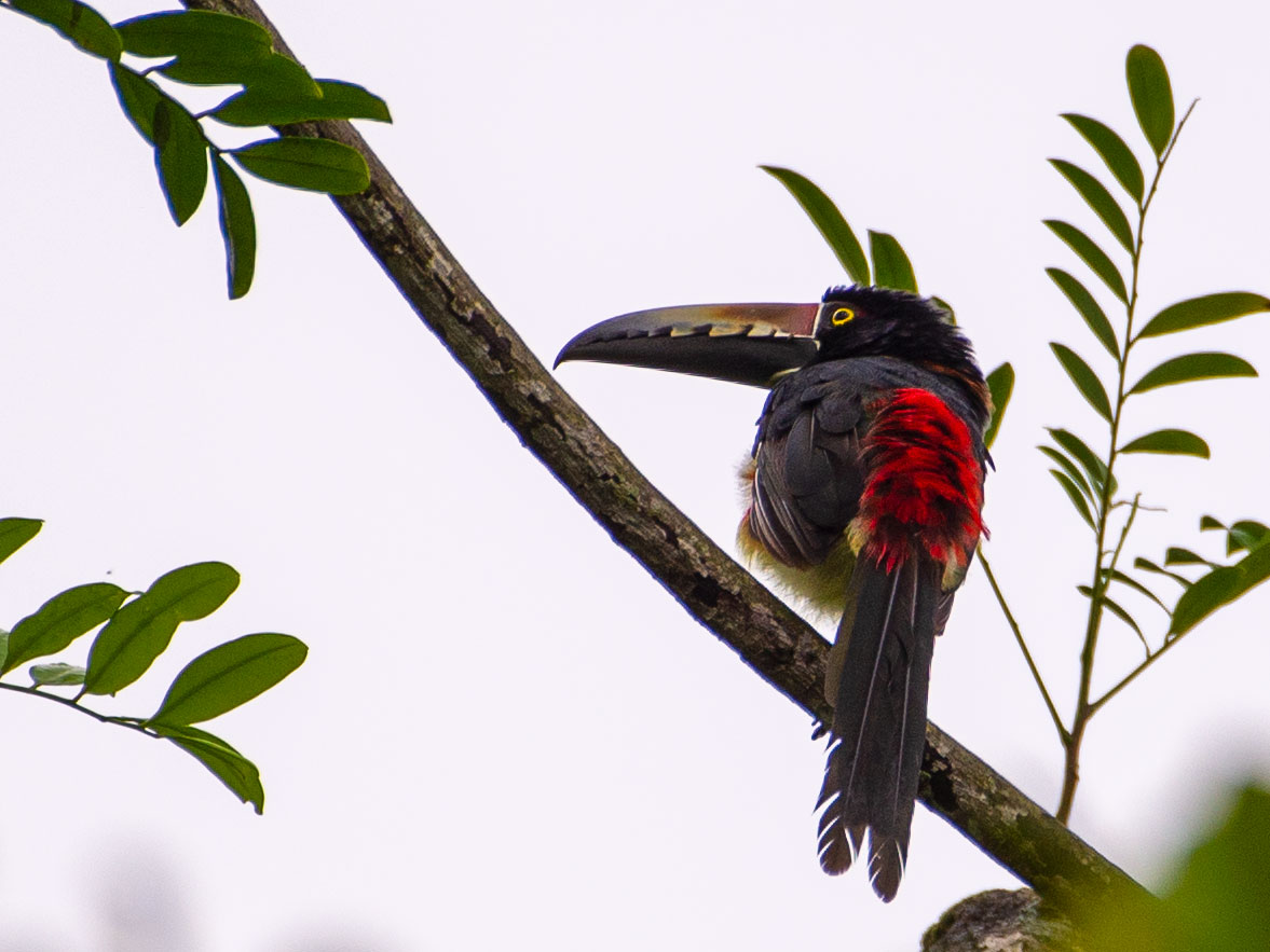 Collared Aracari at Tortuga Lodge & Gardens